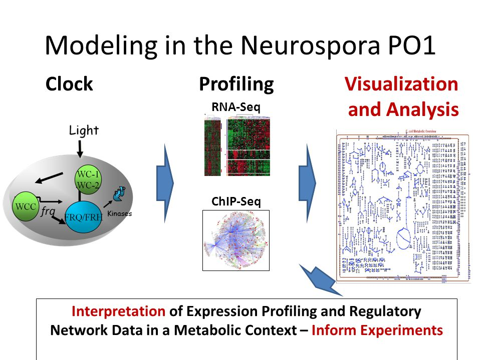 Modeling in the Neurospora PO1 ClockVisualization and Analysis Profiling RNA-Seq ChIP-Seq Interpretation of Expression Profiling and Regulatory Network Data in a Metabolic Context – Inform Experiments