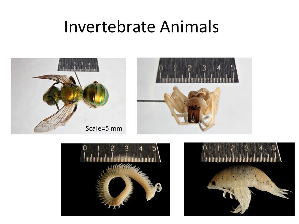 Invertebrate Animals Scale=5 mm