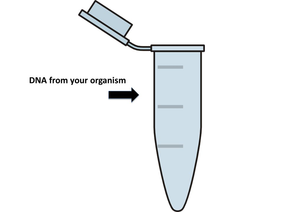 DNA from your organism