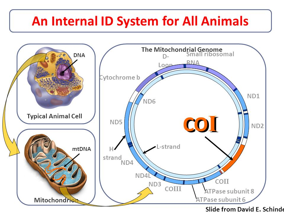 An Internal ID System for All Animals Typical Animal Cell Mitochondrion DNA mtDNA D- Loop ND5 H- strand ND4 ND4L ND3 CO III L-strand ND6 ND2 ND1 CO II