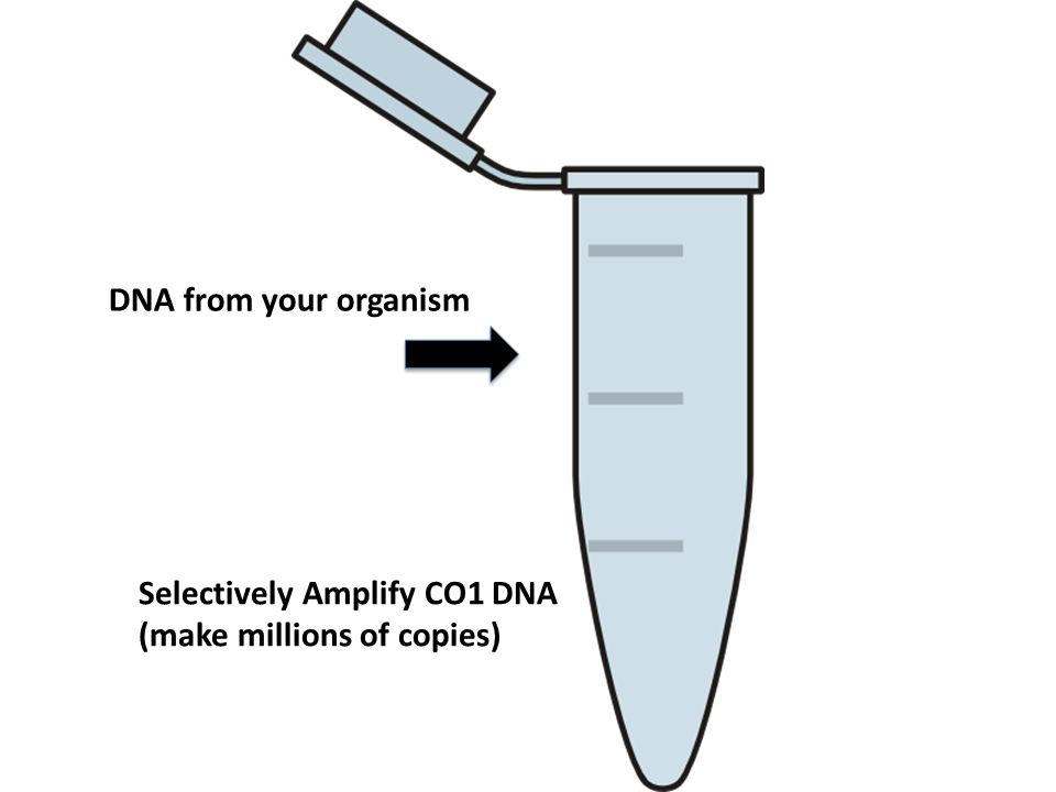 DNA from your organism Selectively Amplify CO1 DNA (make millions of copies)