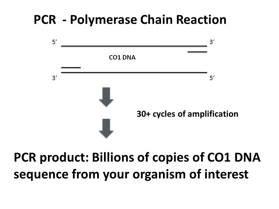 PCR - Polymerase Chain Reaction CO1 DNA 30+ cycles of amplification PCR product: Billions of copies of CO1 DNA sequence from your organism of interest