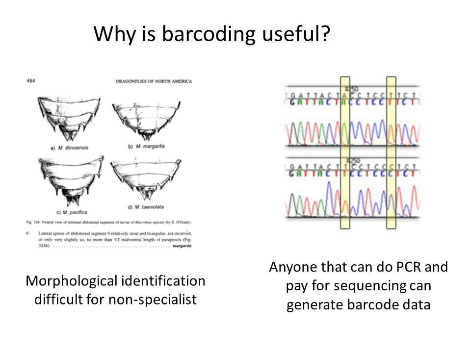 Why is barcoding useful? Morphological identification difficult for non-specialist Anyone that can do PCR and pay for sequencing can generate barcode