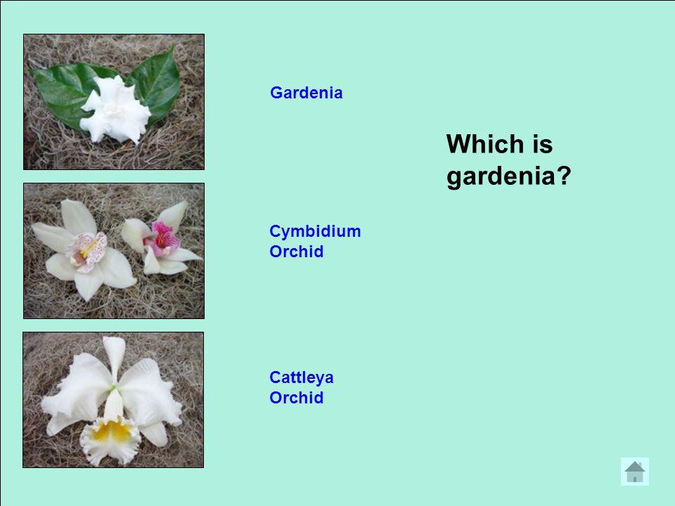 Which is gardenia? Gardenia Cymbidium Orchid Cattleya Orchid