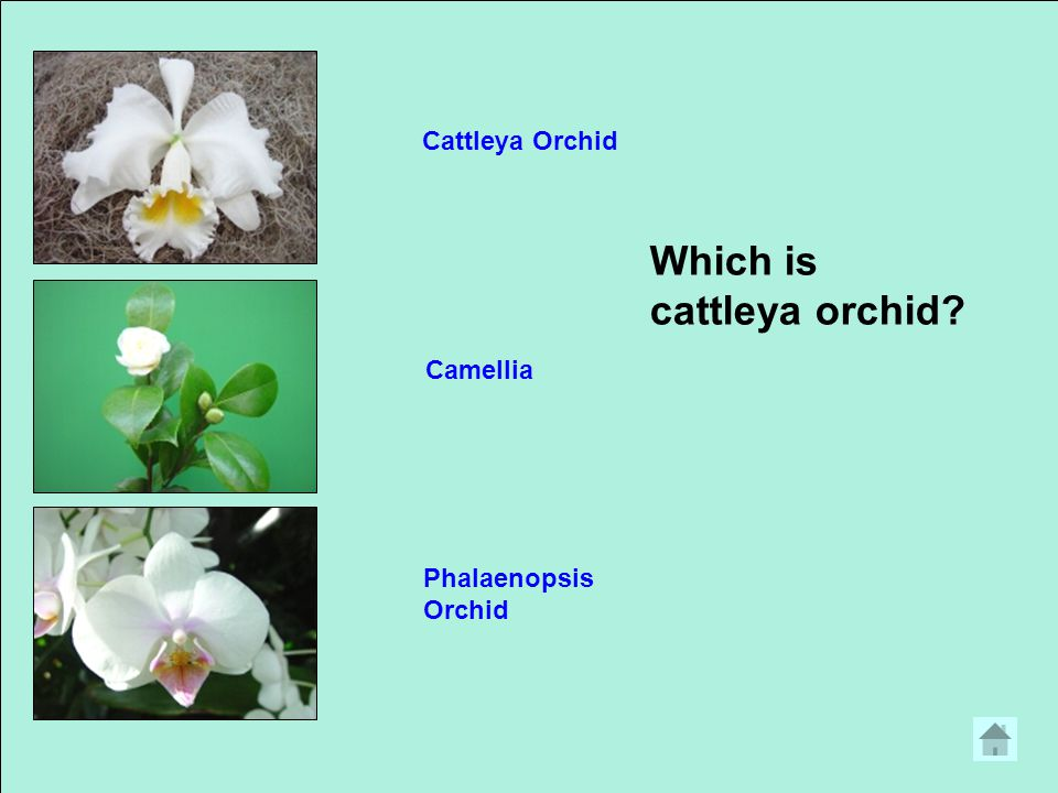 Which is cattleya orchid? Cattleya Orchid Camellia Phalaenopsis Orchid