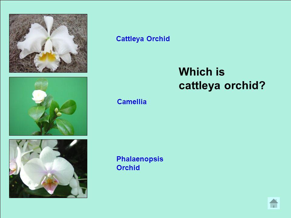 Which is ginger? TulipGladiolusGinger