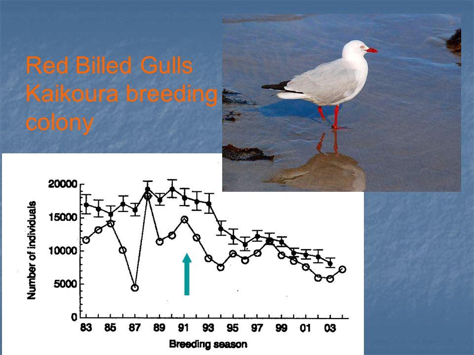 Red Billed Gulls Kaikoura breeding colony
