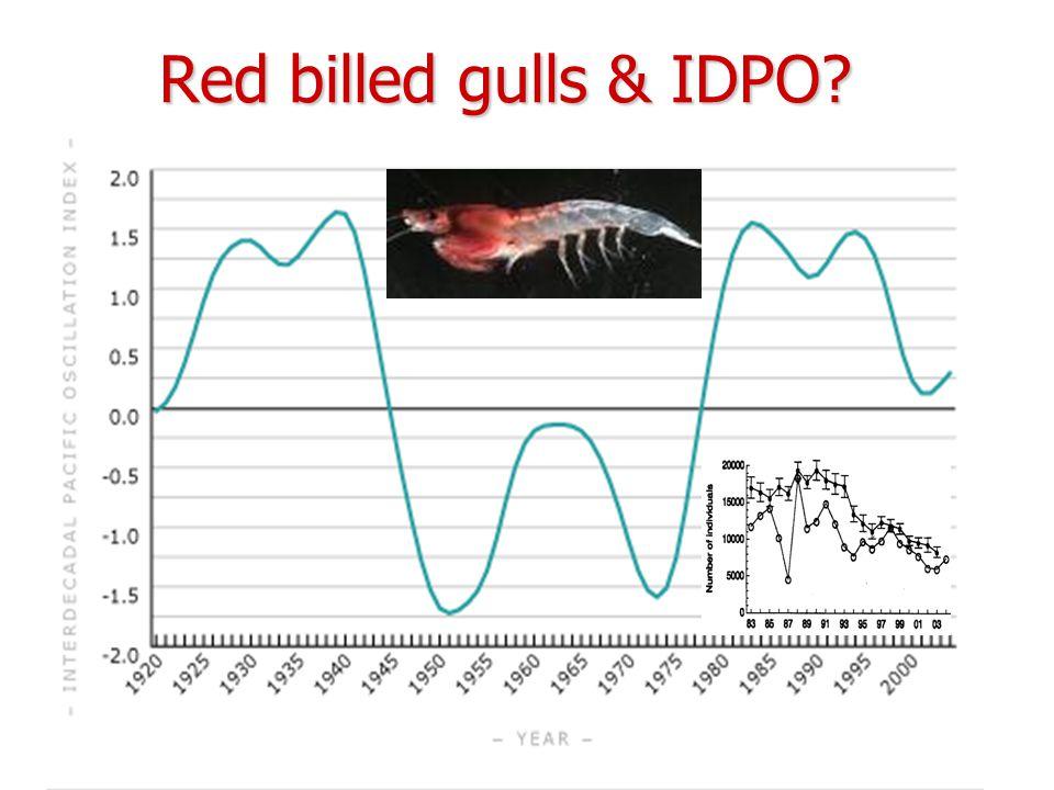 Red billed gulls & IDPO