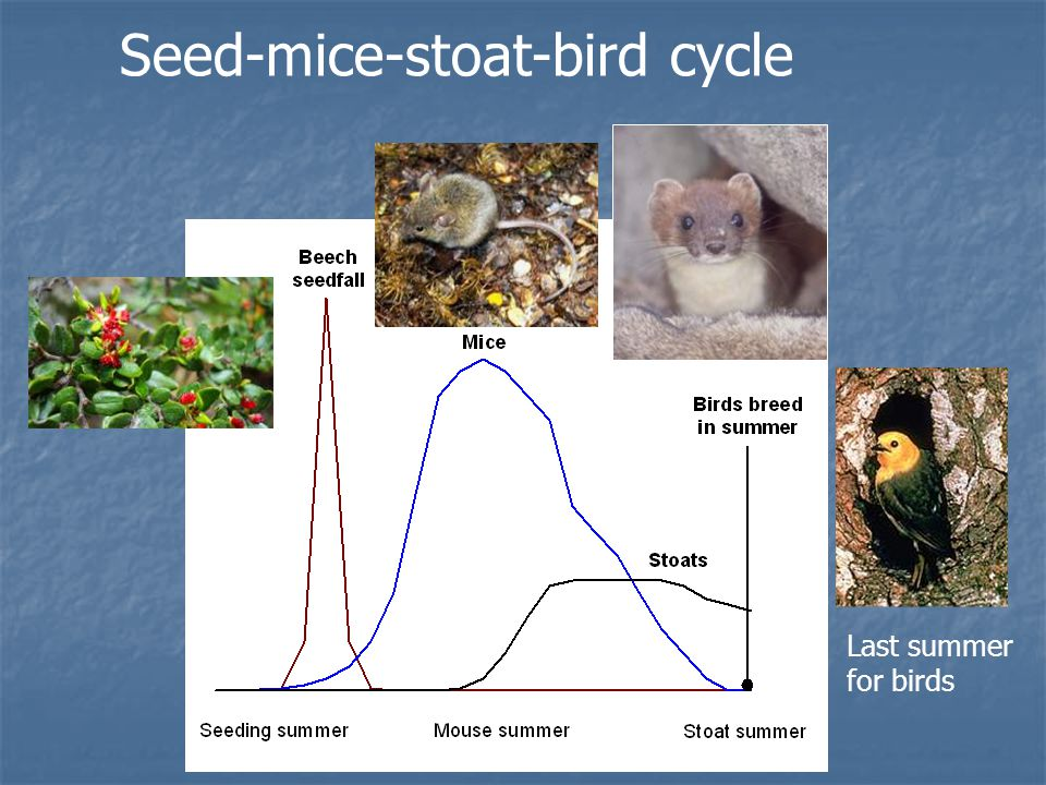 Seed-mice-stoat-bird cycle Last summer for birds