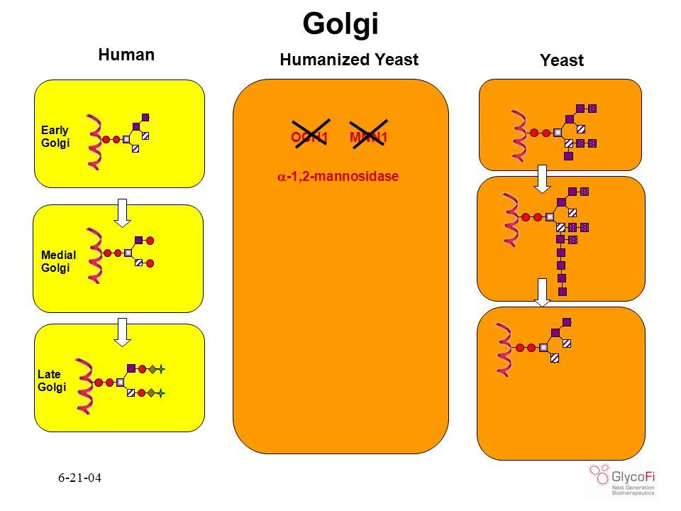 6-21-04 Yeast Golgi Human Humanized Yeast  -1,2-mannosidase OCH1 MNN1 Medial Golgi Late Golgi Early Golgi