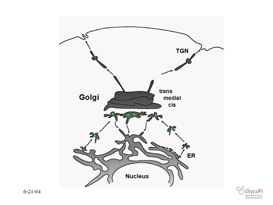 6-21-04 Golgi cis medial trans ER Nucleus TGN