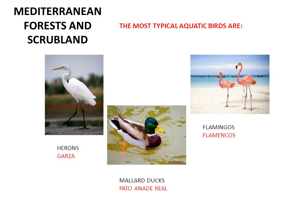 MEDITERRANEAN FORESTS AND SCRUBLAND THE MOST TYPICAL AQUATIC BIRDS ARE: HERONS GARZA MALLARD DUCKS PATO ANADE REAL FLAMINGOS FLAMENCOS