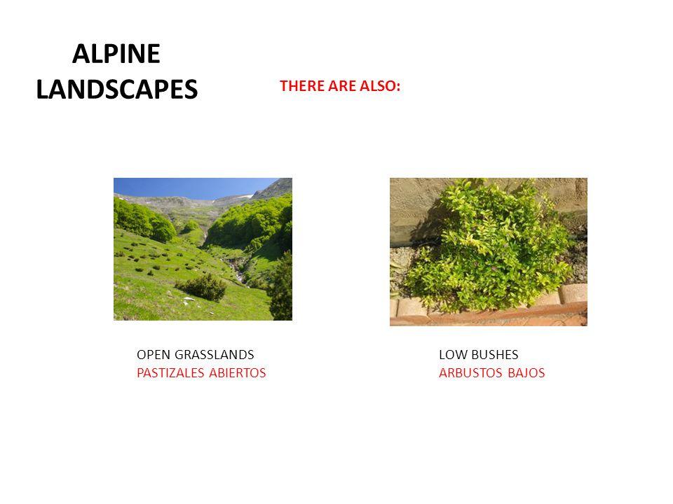 ALPINE LANDSCAPES THERE ARE ALSO: OPEN GRASSLANDS PASTIZALES ABIERTOS LOW BUSHES ARBUSTOS BAJOS