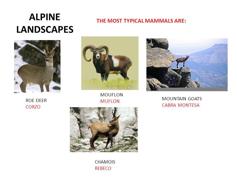 ALPINE LANDSCAPES THE MOST TYPICAL MAMMALS ARE: ROE DEER CORZO MOUFLON MUFLON MOUNTAIN GOATS CABRA MONTESA CHAMOIS REBECO