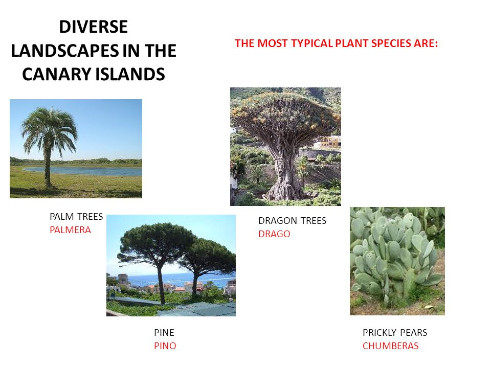 DIVERSE LANDSCAPES IN THE CANARY ISLANDS THE MOST TYPICAL PLANT SPECIES ARE: PALM TREES PALMERA PINE PINO DRAGON TREES DRAGO PRICKLY PEARS CHUMBERAS
