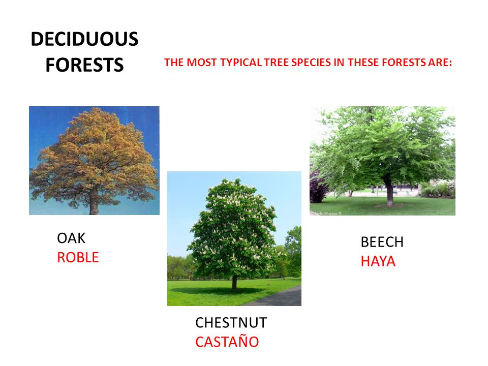 DECIDUOUS FORESTS THE MOST TYPICAL TREE SPECIES IN THESE FORESTS ARE: OAK ROBLE BEECH HAYA CHESTNUT CASTAÑO