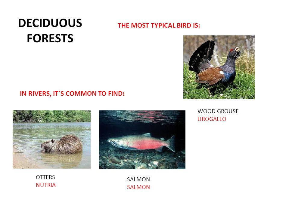 DECIDUOUS FORESTS THE MOST TYPICAL BIRD IS: OTTERS NUTRIA WOOD GROUSE UROGALLO SALMON IN RIVERS, IT´S COMMON TO FIND:
