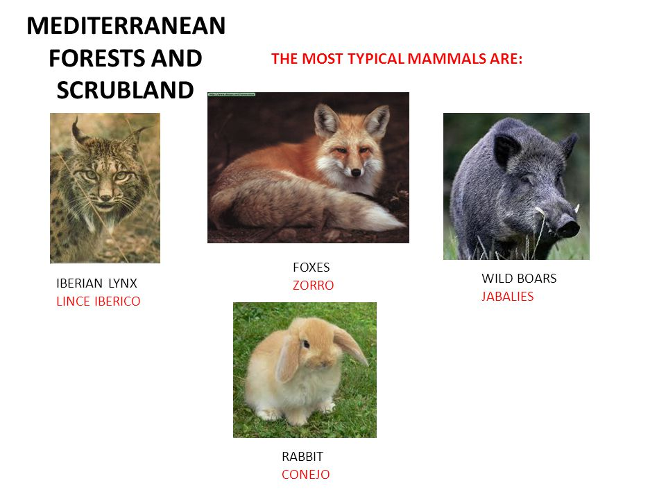 MEDITERRANEAN FORESTS AND SCRUBLAND THE MOST TYPICAL MAMMALS ARE: IBERIAN LYNX LINCE IBERICO FOXES ZORRO WILD BOARS JABALIES RABBIT CONEJO