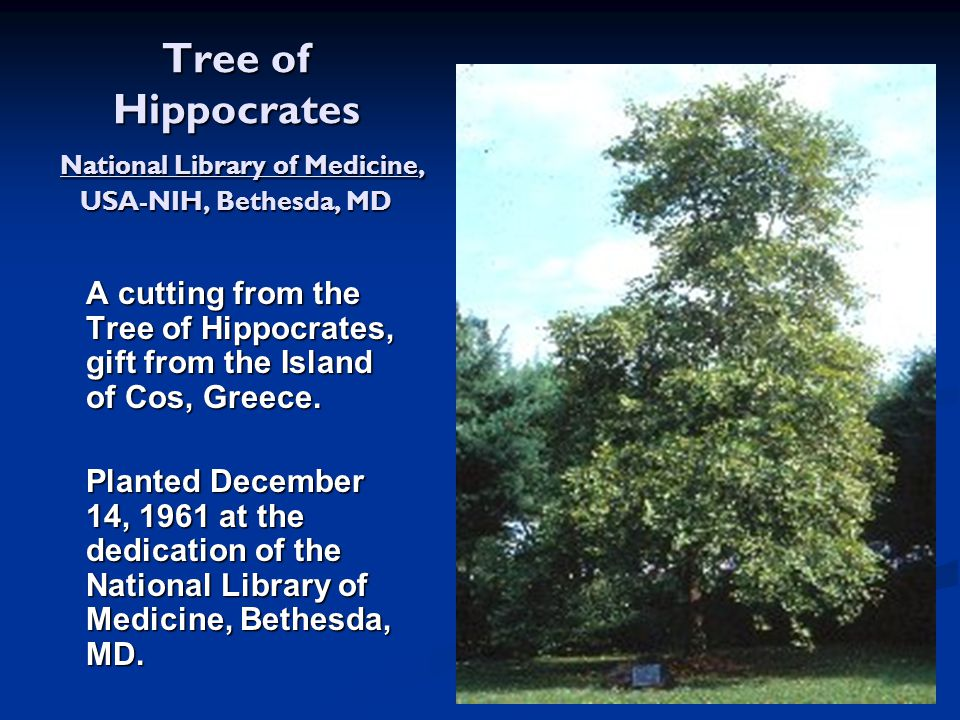 Tree of Hippocrates National Library of Medicine, USA-NIH, Bethesda, MD A cutting from the Tree of Hippocrates, gift from the Island of Cos, Greece. P