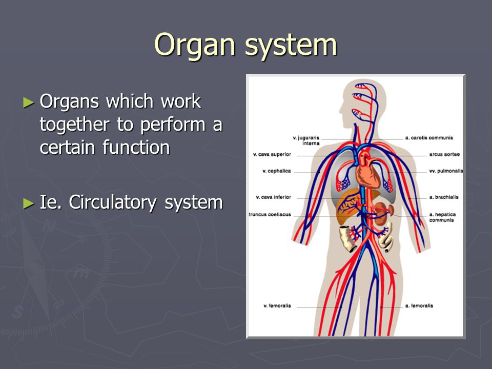 Organ system ► Organs which work together to perform a certain function ► Ie. Circulatory system