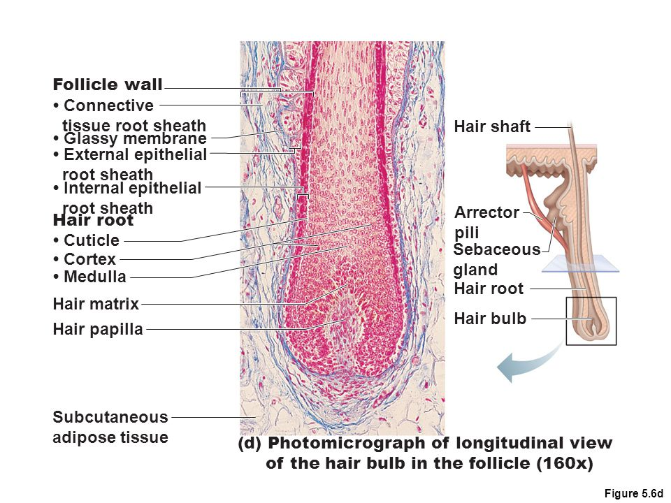 (d) Photomicrograph of longitudinal view of the hair bulb in the follicle (160x) Follicle wall Hair matrix Hair papilla Subcutaneous adipose tissue Hair root Connective tissue root sheath Glassy membrane External epithelial root sheath Internal epithelial root sheath Cuticle Cortex Medulla Hair shaft Arrector pili Sebaceous gland Hair root Hair bulb Figure 5.6d