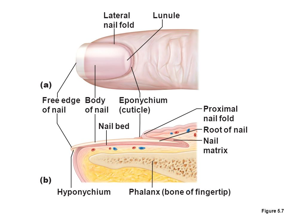 Figure 5.7 Lateral nail fold Lunule Nail matrix Root of nail Proximal nail fold Hyponychium Nail bed Phalanx (bone of fingertip) Eponychium (cuticle) Body of nail Free edge of nail (a) (b)