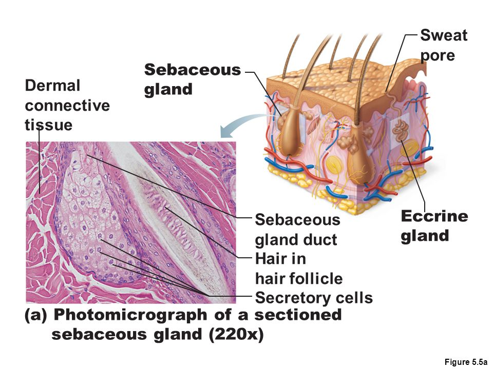 Figure 5.5a (a) Photomicrograph of a sectioned sebaceous gland (220x) Sebaceous gland duct Hair in hair follicle Secretory cells Dermal connective tissue Sebaceous gland Sweat pore Eccrine gland
