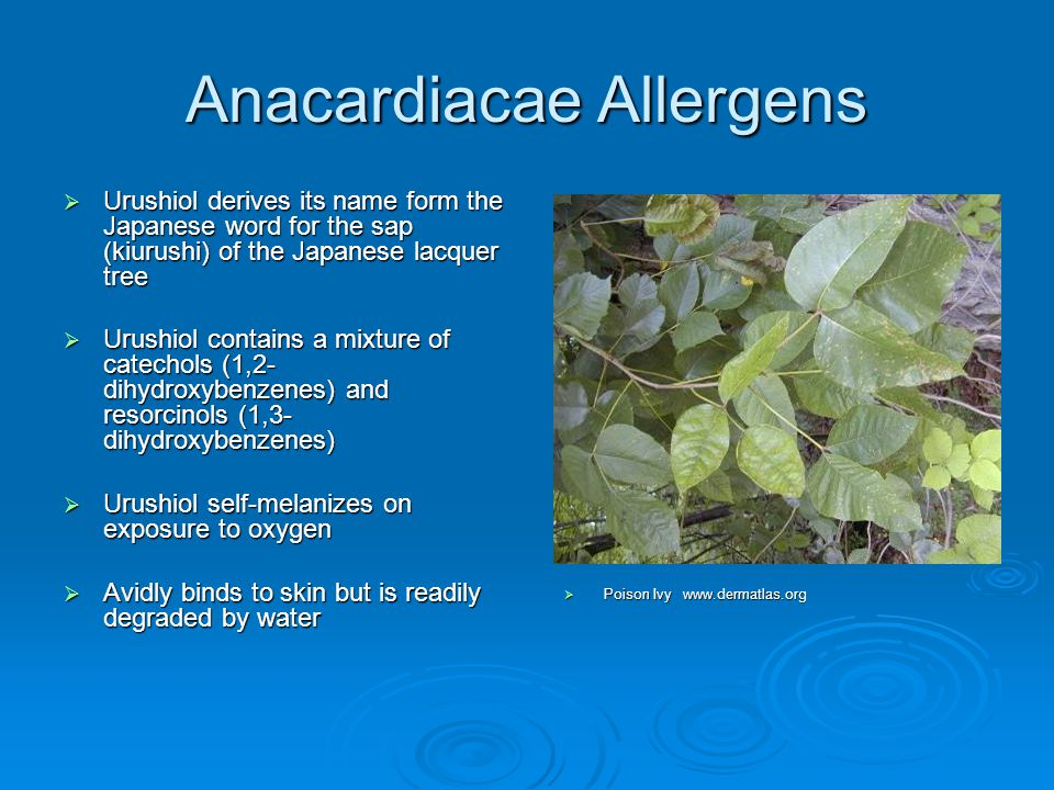 Anacardiacae Allergens  Urushiol derives its name form the Japanese word for the sap (kiurushi) of the Japanese lacquer tree  Urushiol contains a mi