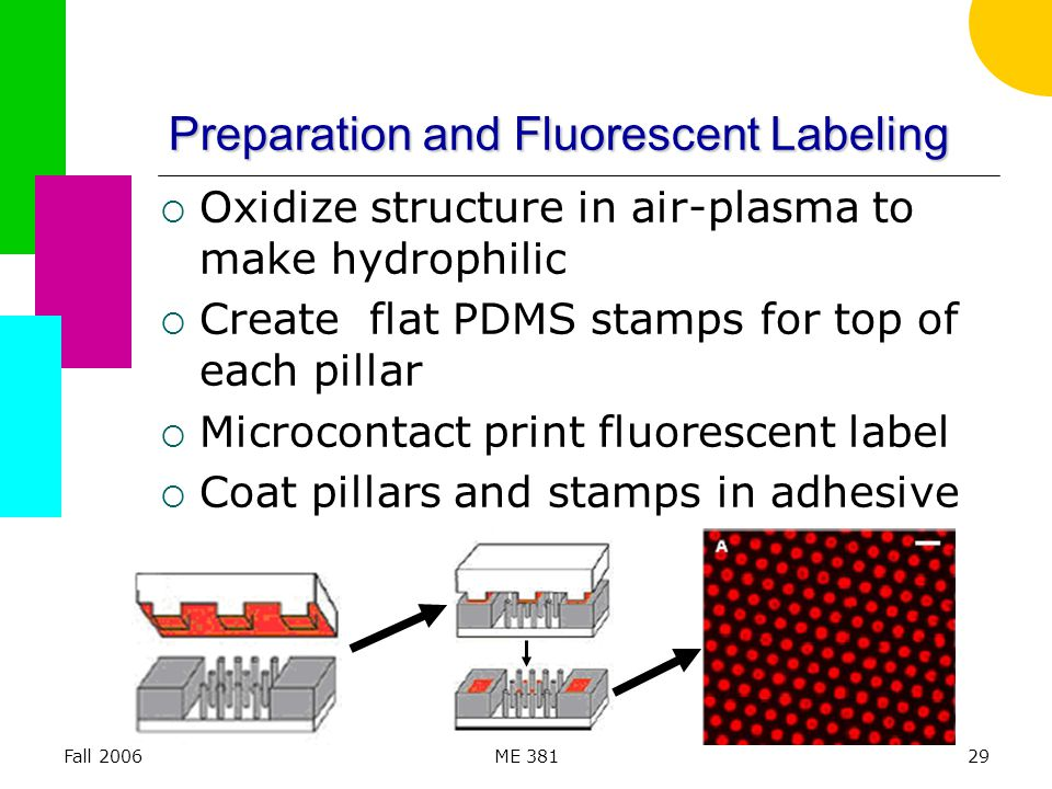 Fall 2006ME 38129 Preparation and Fluorescent Labeling  Oxidize structure in air-plasma to make hydrophilic  Create flat PDMS stamps for top of each