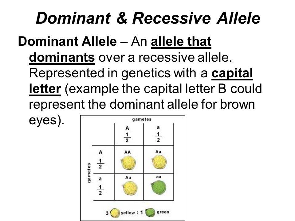 Dominant & Recessive Allele Dominant Allele – An allele that dominants over a recessive allele.