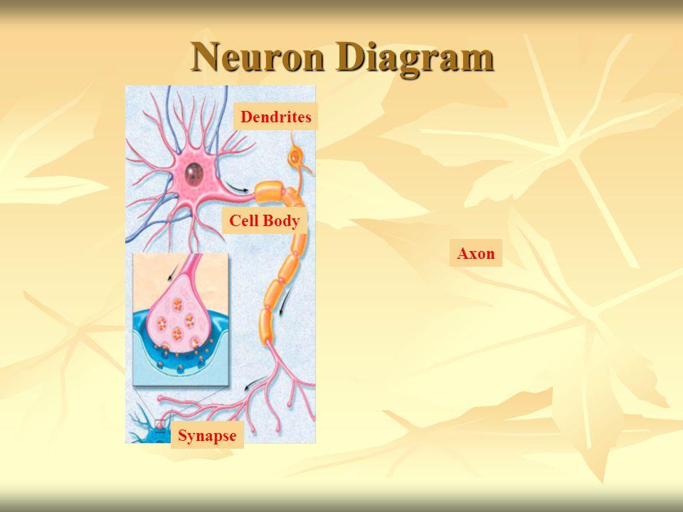Neuron Diagram Cell Body Axon Synapse Dendrites