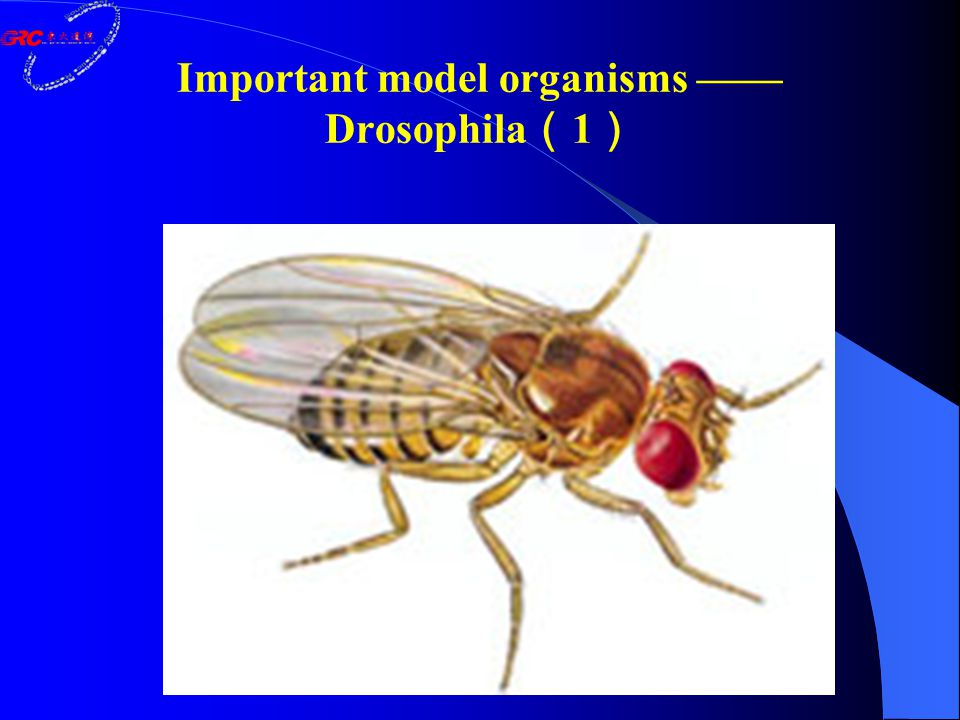 Important model organisms —— Drosophila ( 1 )