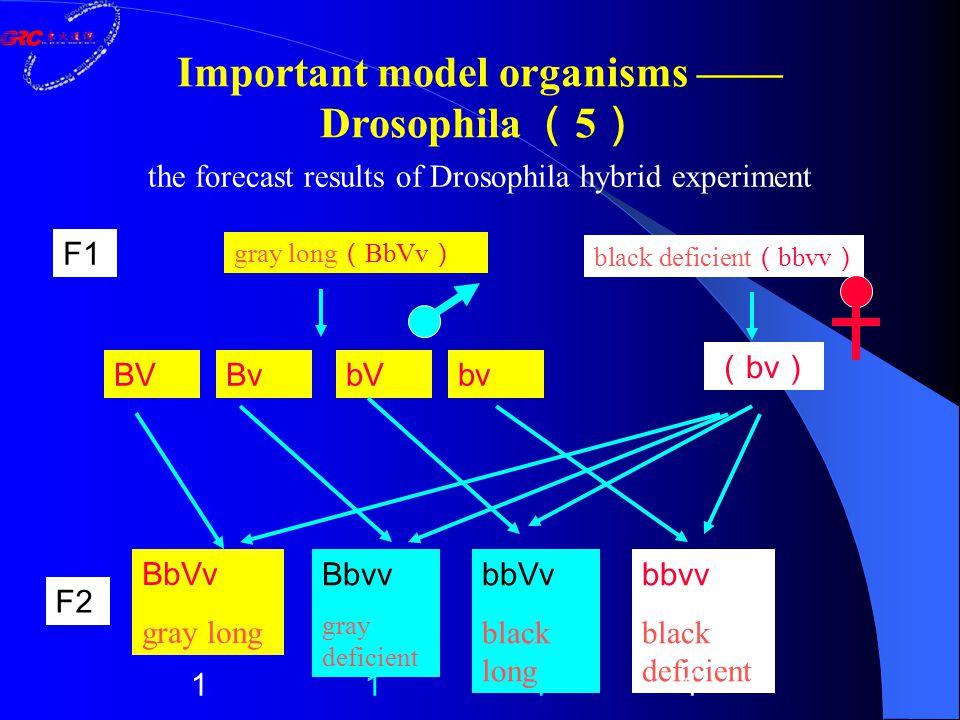 the forecast results of Drosophila hybrid experiment gray long ( BbVv ) black deficient ( bbvv ) ( bv ) BV F1 F2 BvbVbv BbVv gray long Bbvv gray deficient bbVv black long bbvv black deficient 1111 Important model organisms —— Drosophila ( 5 )