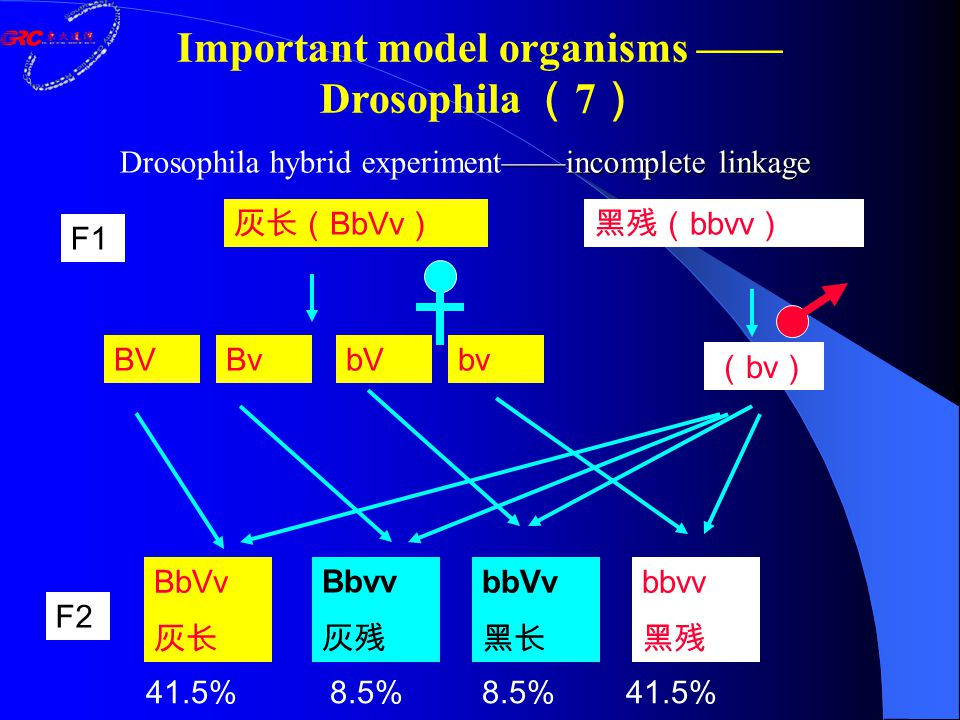 ——incomplete linkage Drosophila hybrid experiment——incomplete linkage 灰长( BbVv )黑残( bbvv ) ( bv ) BV F1 F2 BvbVbv BbVv 灰长 Bbvv 灰残 bbVv 黑长 bbvv 黑残 41.5