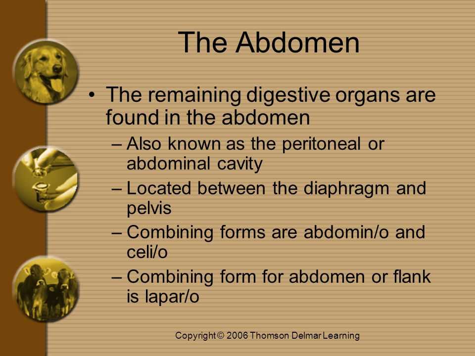 Copyright © 2006 Thomson Delmar Learning The Abdomen The remaining digestive organs are found in the abdomen –Also known as the peritoneal or abdomina
