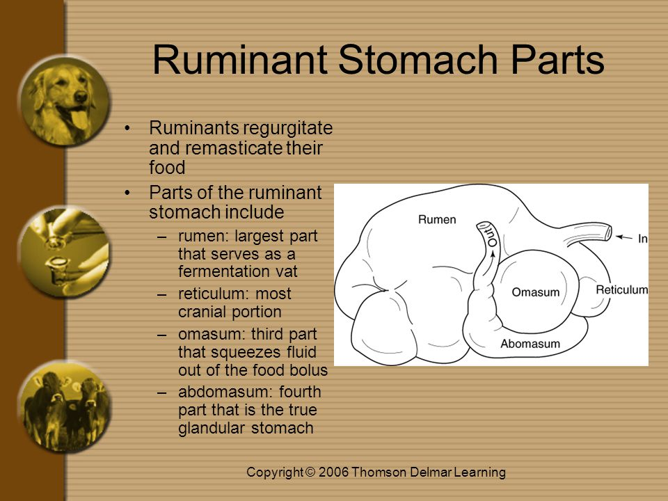Copyright © 2006 Thomson Delmar Learning Ruminant Stomach Parts Ruminants regurgitate and remasticate their food Parts of the ruminant stomach include –rumen: largest part that serves as a fermentation vat –reticulum: most cranial portion –omasum: third part that squeezes fluid out of the food bolus –abdomasum: fourth part that is the true glandular stomach