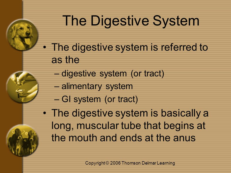 Copyright © 2006 Thomson Delmar Learning The Digestive System The digestive system is referred to as the –digestive system (or tract) –alimentary syst