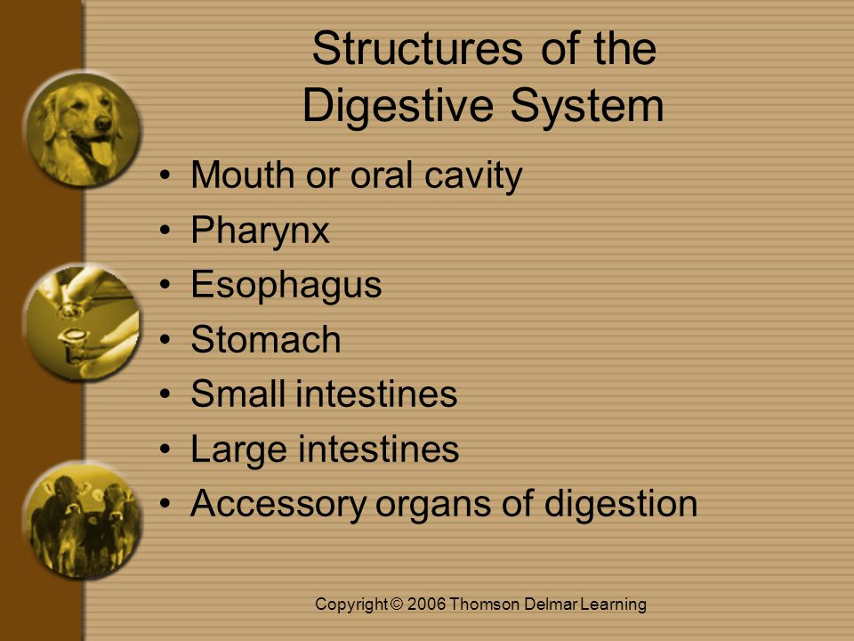 Copyright © 2006 Thomson Delmar Learning Structures of the Digestive System Mouth or oral cavity Pharynx Esophagus Stomach Small intestines Large intestines Accessory organs of digestion
