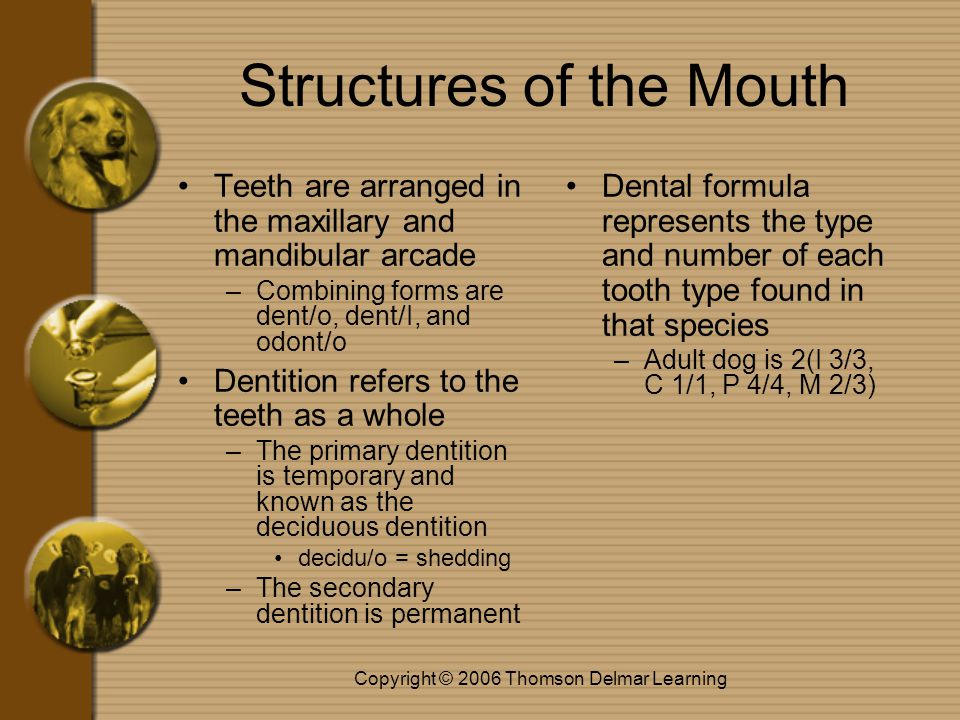Copyright © 2006 Thomson Delmar Learning Structures of the Mouth Teeth are arranged in the maxillary and mandibular arcade –Combining forms are dent/o
