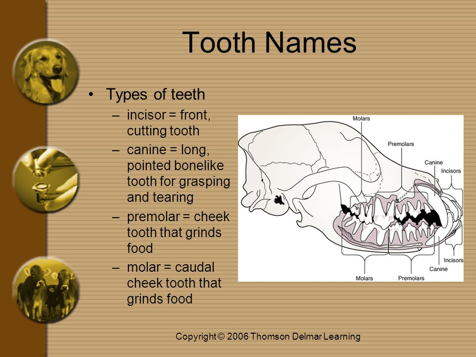 Copyright © 2006 Thomson Delmar Learning Tooth Names Types of teeth –incisor = front, cutting tooth –canine = long, pointed bonelike tooth for grasping and tearing –premolar = cheek tooth that grinds food –molar = caudal cheek tooth that grinds food