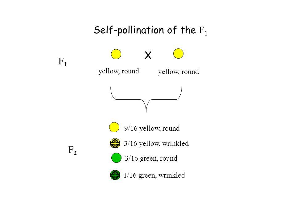Self-pollination of the F 1 X yellow, round 9/16 yellow, round 1/16 green, wrinkled 3/16 green, round 3/16 yellow, wrinkled F1F1 F2F2