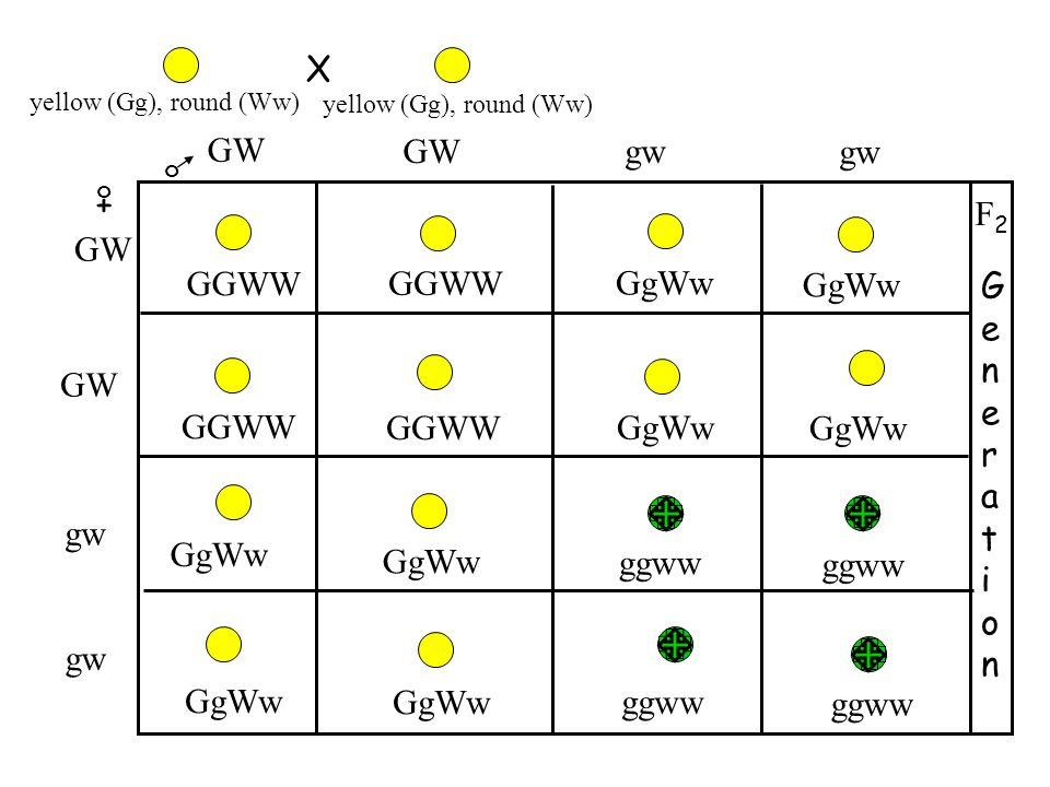 X + o o GW GGWW GgWw GGWW ggww GgWw GGWW GgWw GenerationGeneration F2F2 GW gw GW