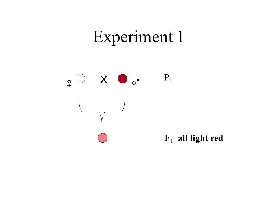 Experiment 1 + o o X P1P1 F 1 - all light red