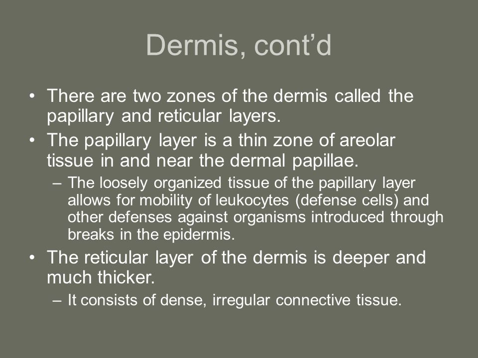 Dermis, cont'd There are two zones of the dermis called the papillary and reticular layers. The papillary layer is a thin zone of areolar tissue in an