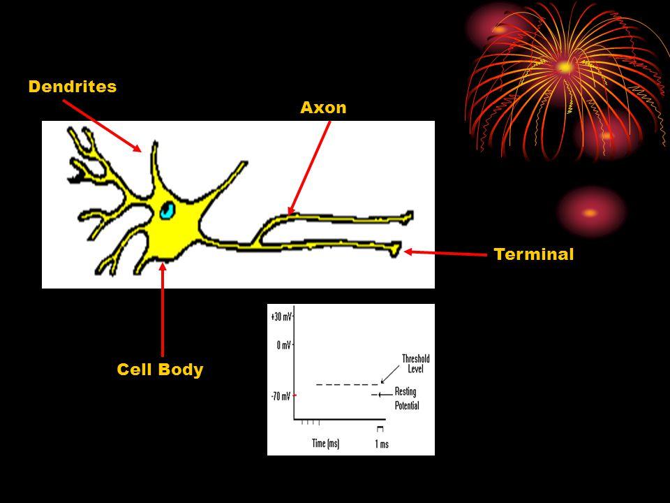 Cell Body Dendrites Axon Terminal
