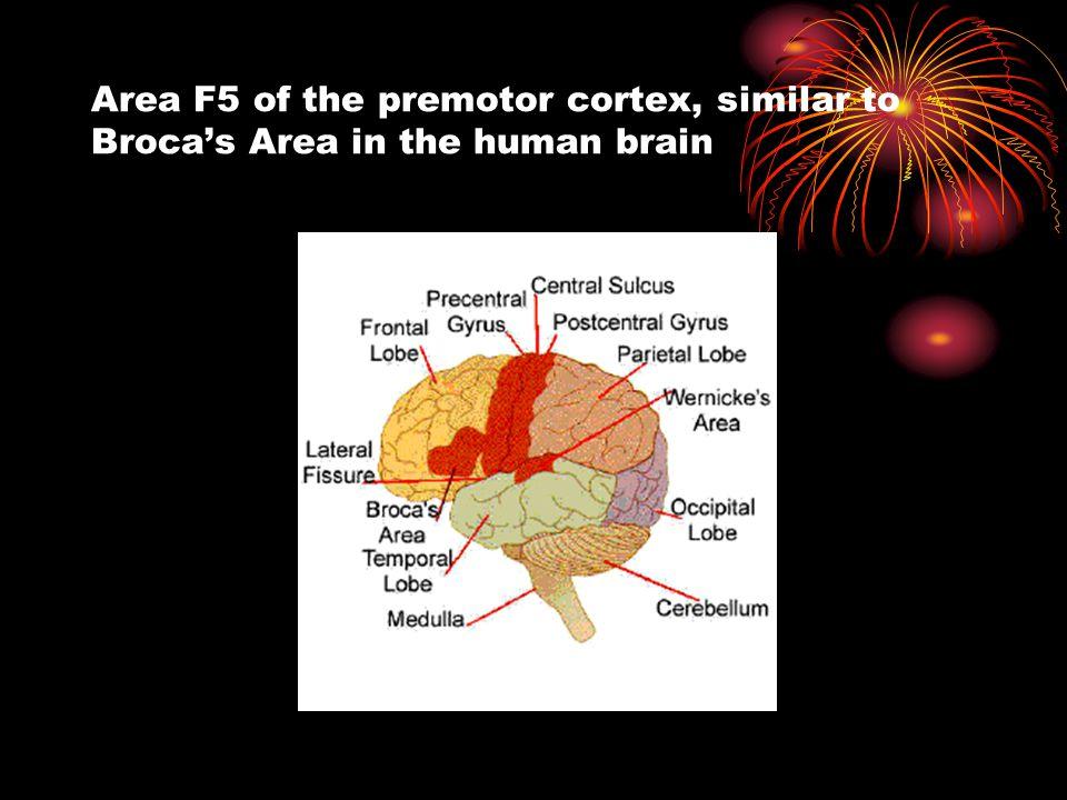 Area F5 of the premotor cortex, similar to Broca's Area in the human brain
