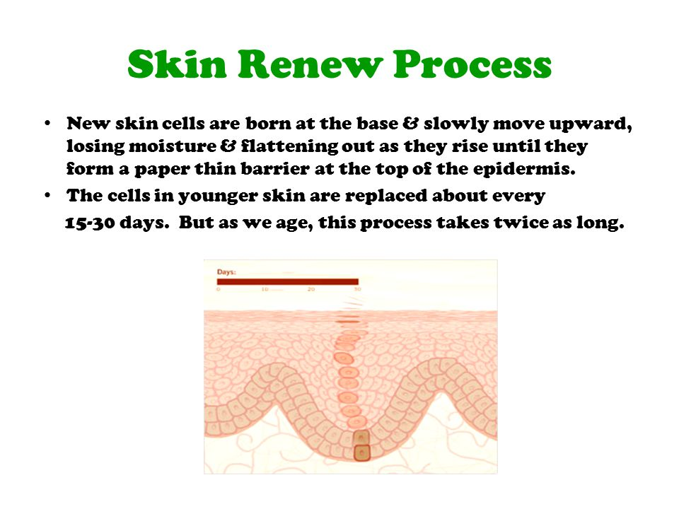 Skin Renew Process New skin cells are born at the base & slowly move upward, losing moisture & flattening out as they rise until they form a paper thi