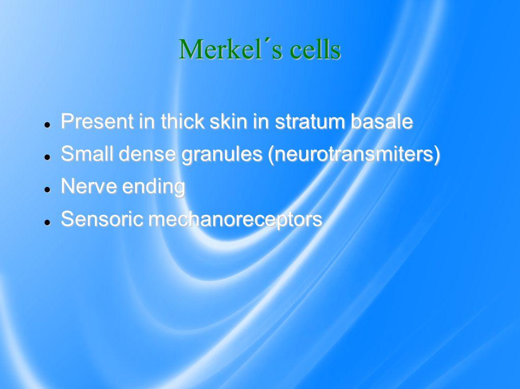 Merkel´s cells Present in thick skin in stratum basale Present in thick skin in stratum basale Small dense granules (neurotransmiters) Small dense granules (neurotransmiters) Nerve ending Nerve ending Sensoric mechanoreceptors Sensoric mechanoreceptors