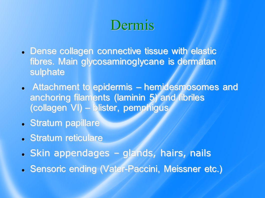 Dermis Dense collagen connective tissue with elastic fibres.