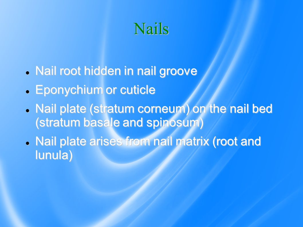 Nails Nail root hidden in nail groove Nail root hidden in nail groove Eponychium or cuticle Eponychium or cuticle Nail plate (stratum corneum) on the nail bed (stratum basale and spinosum) Nail plate (stratum corneum) on the nail bed (stratum basale and spinosum) Nail plate arises from nail matrix (root and lunula) Nail plate arises from nail matrix (root and lunula)